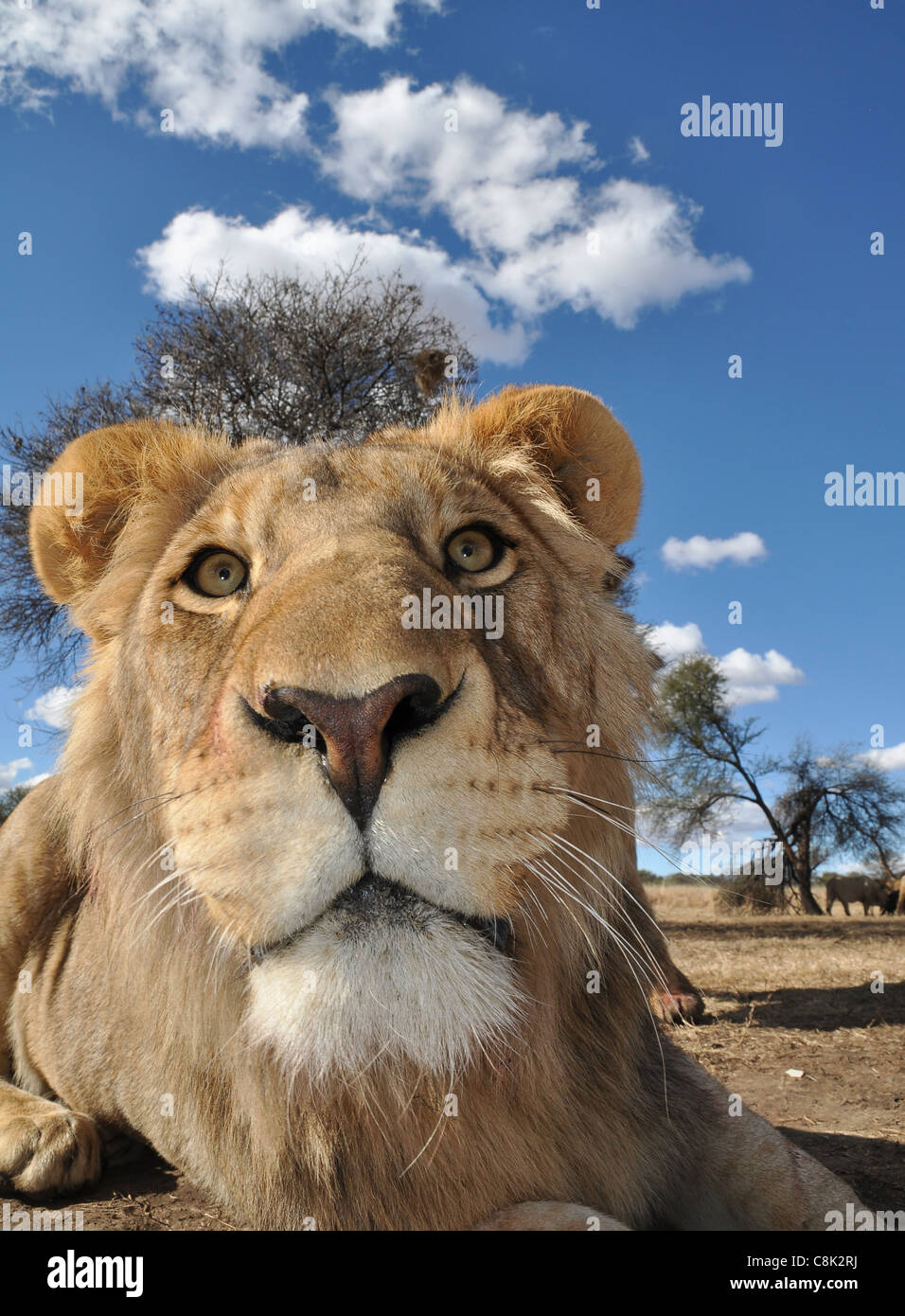 African lion cubs - Stock Image