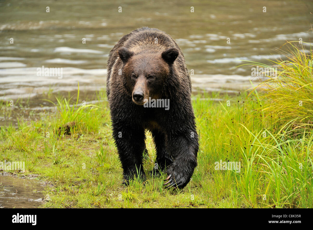 A grizzly bear walking forward - Stock Image