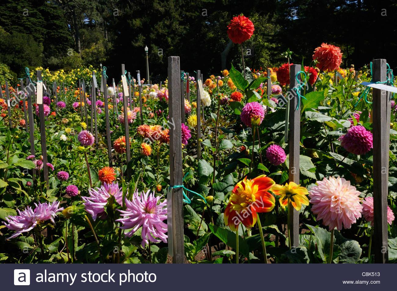 Numerous colorful varieties of dahlias fill the dahlia garden numerous colorful varieties of dahlias fill the dahlia garden outside the conservatory of flowers san francisco ca izmirmasajfo
