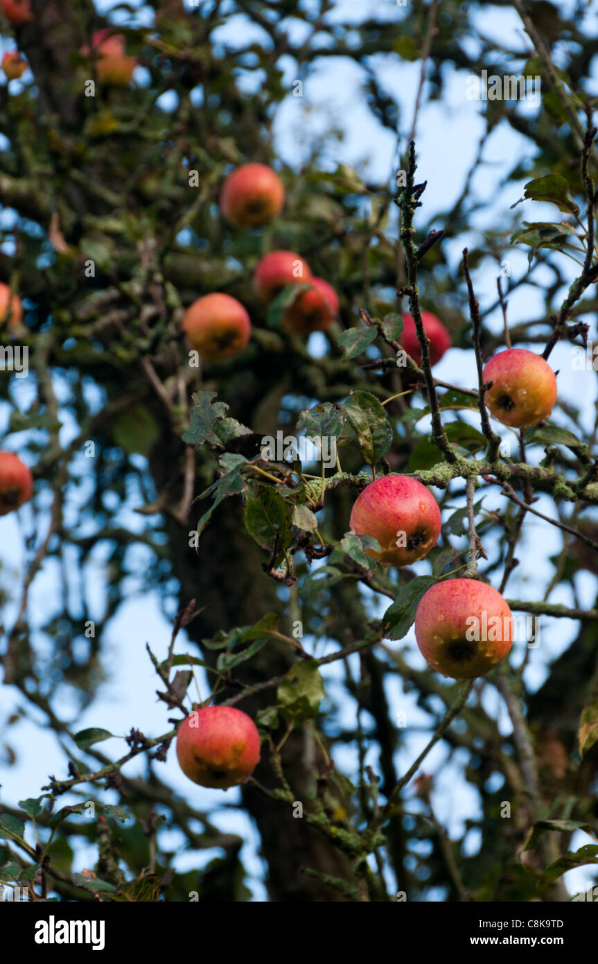 ripe red rosy English apples on tree waiting to be harvested - Stock Image
