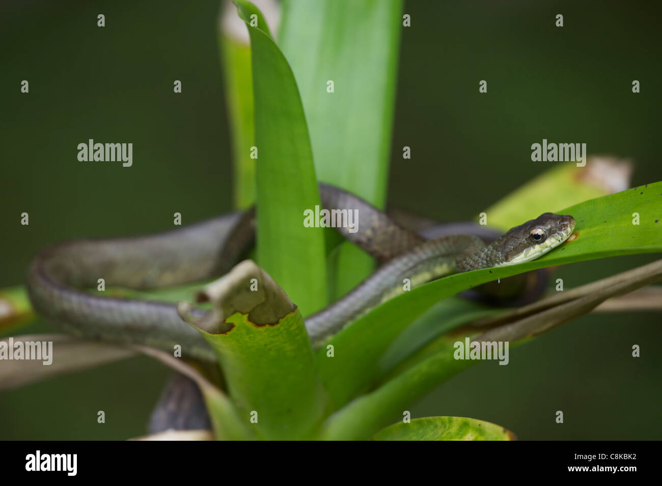 Salmon-bellied Racer - (Mastigodryas melanolomus) - Costa Rica - tropical rainforest - non-venomous  - Stock Image