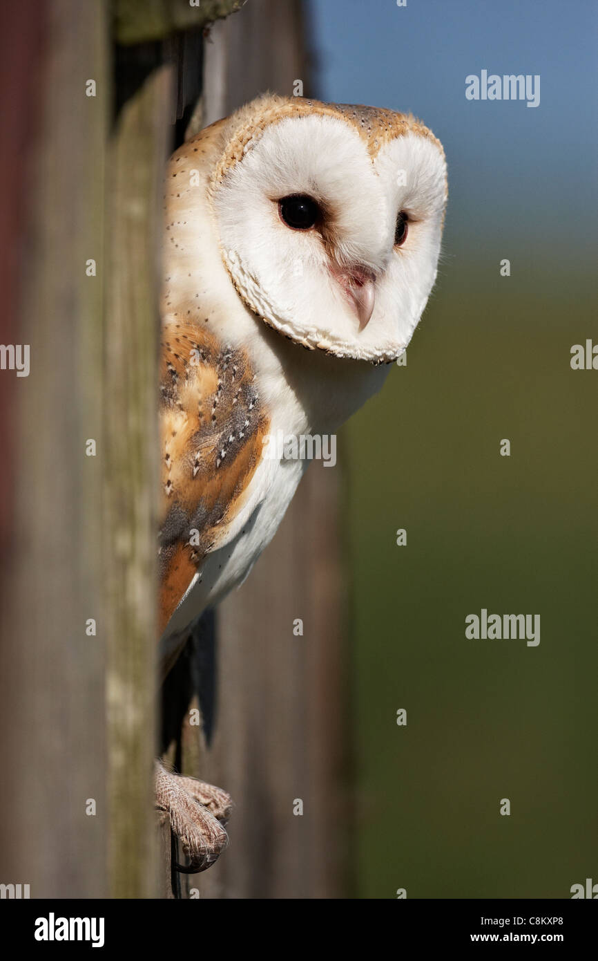 A captive Barn Owl perched in an opening in a shed - Stock Image