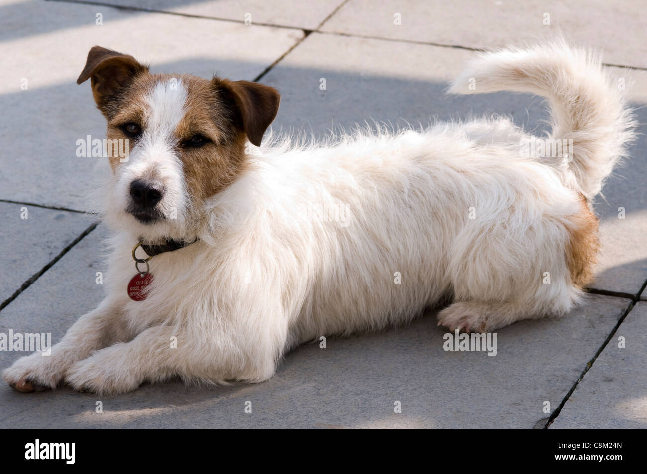 Jack Russell Terrier Stock Photos Jack Russell Terrier