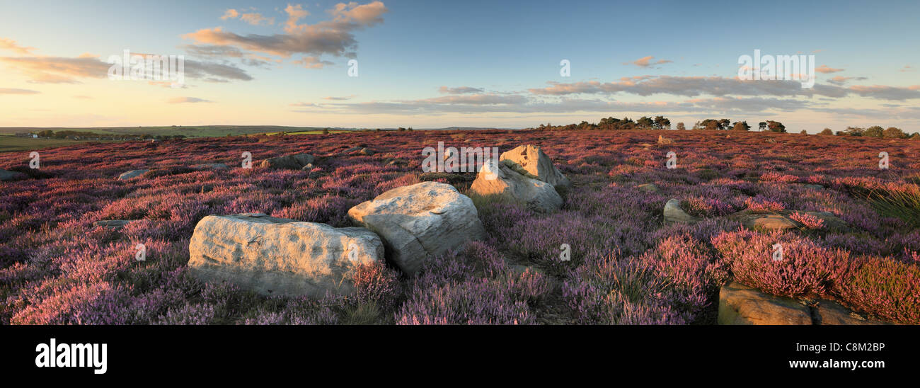Bright purple heather covers the hills surrounding Thruscross Reservoir during late summer months - Stock Image