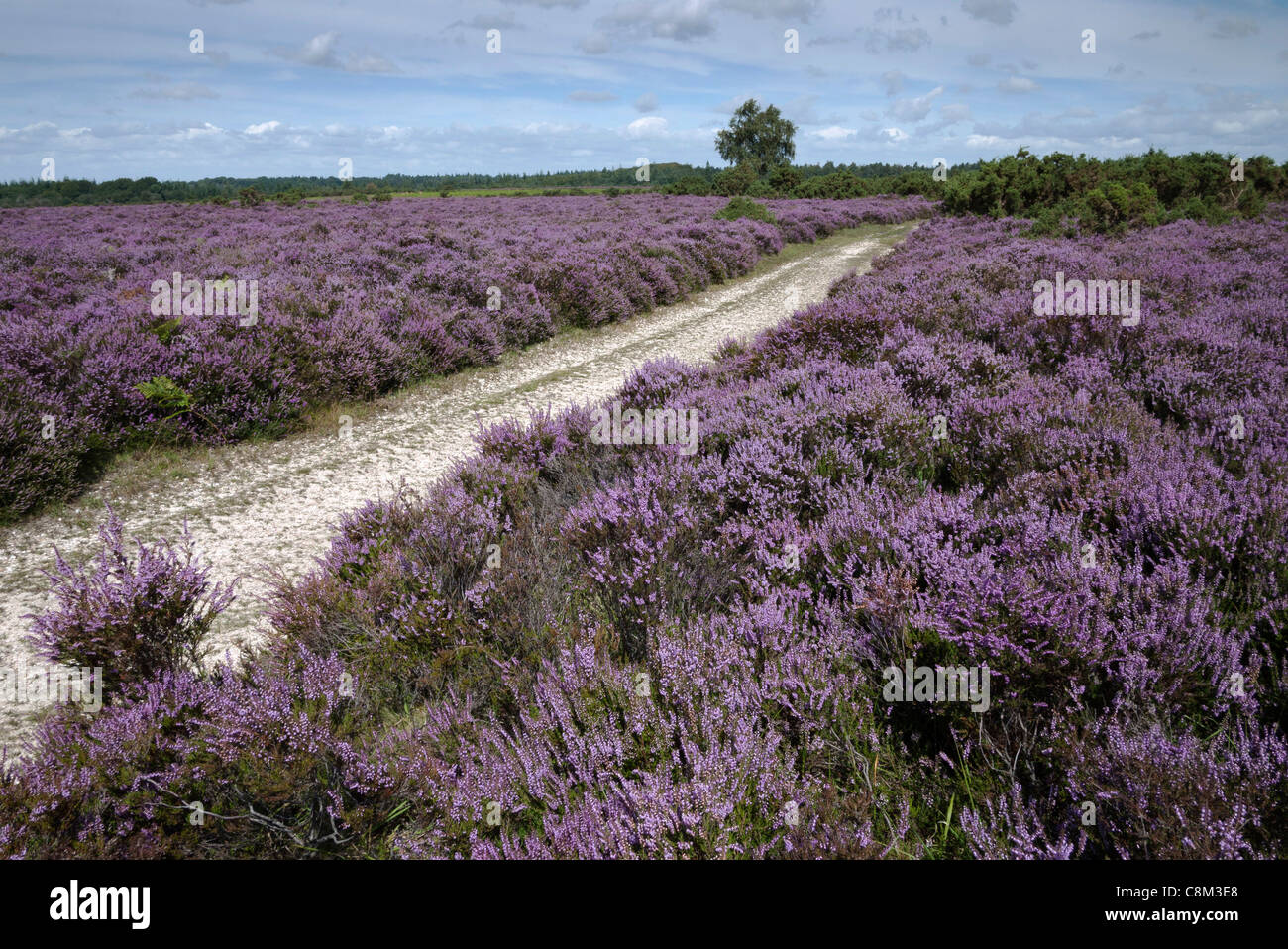 New Forest, Heather in Bloom, Track, Hampshire, England, UK - Stock Image