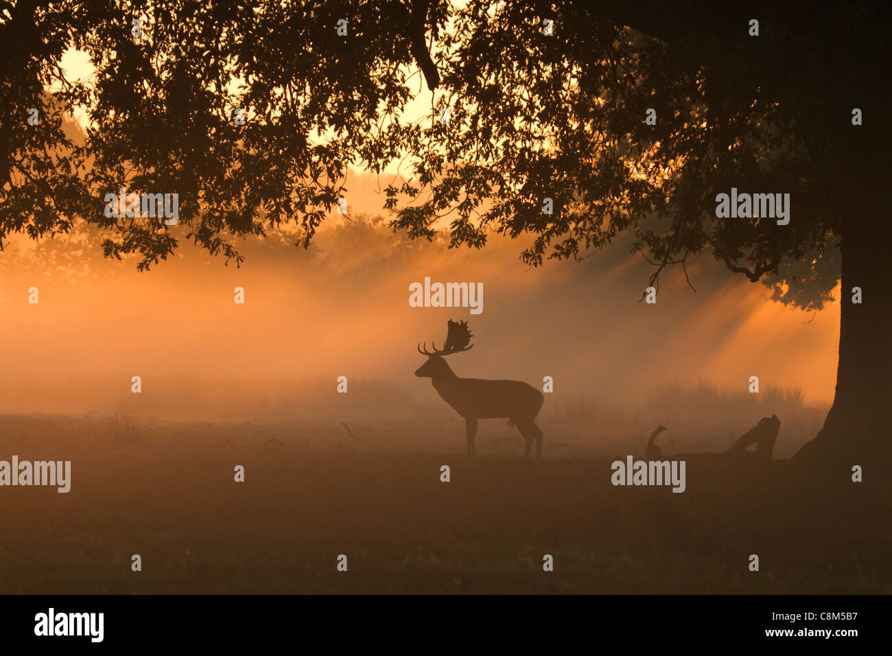 Fallow Deer, Dama dama buck silhouette in the early morning light - Stock Image