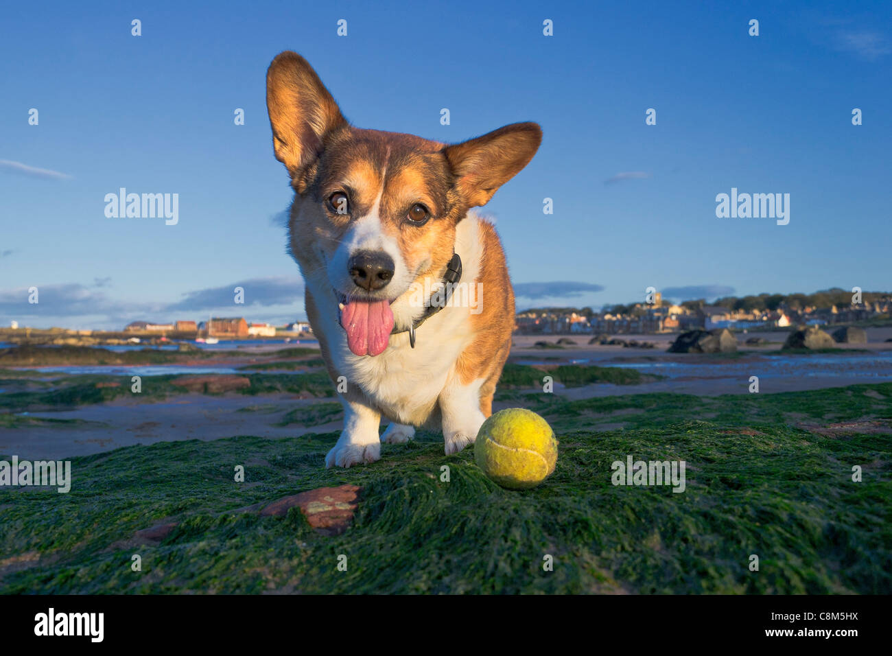 Male cardigan corgi (dog) playing with a tennis ball on the beach. - Stock Image