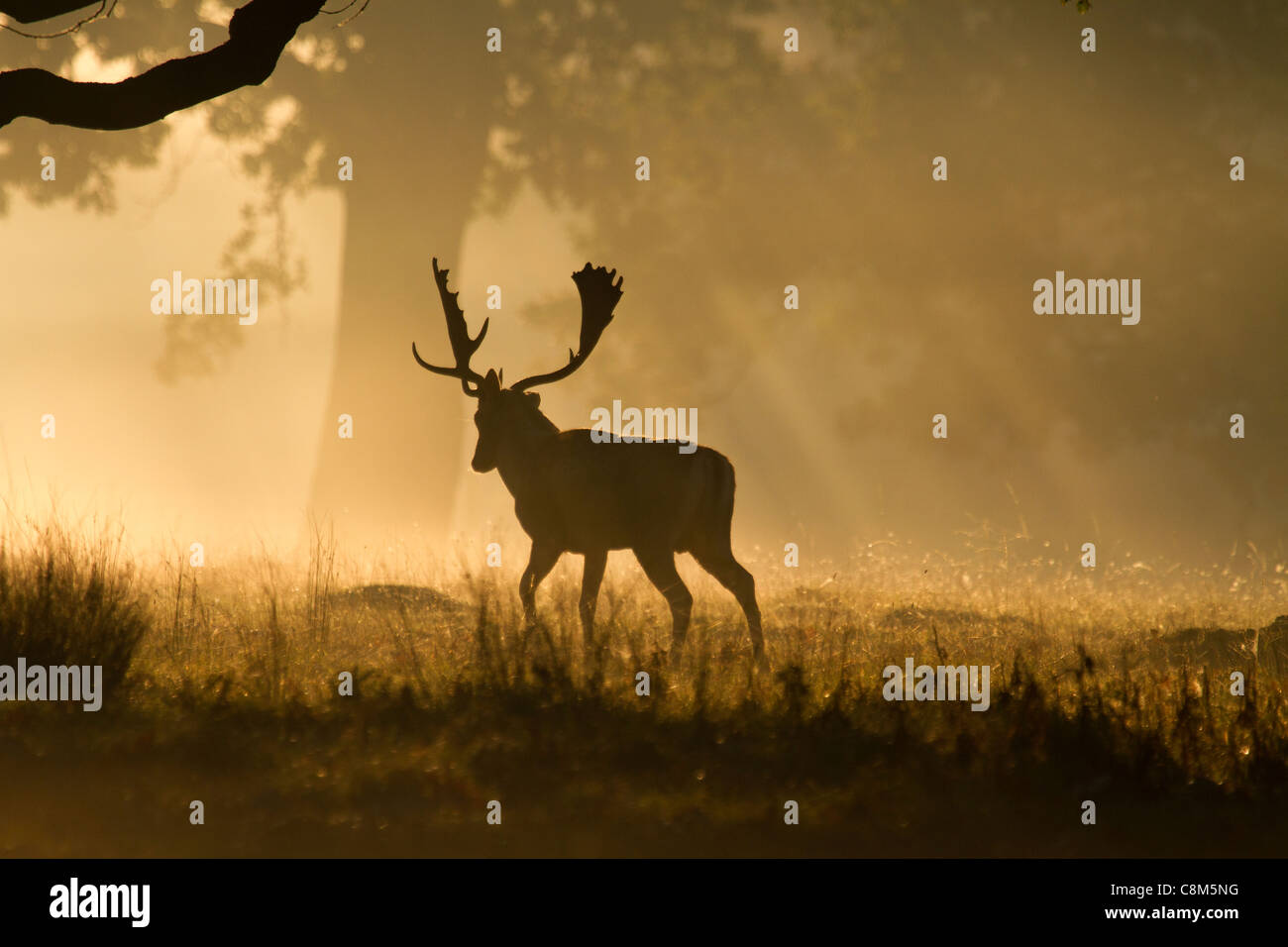 Fallow Deer, Dama dama buck walks away into the early morning light - Stock Image