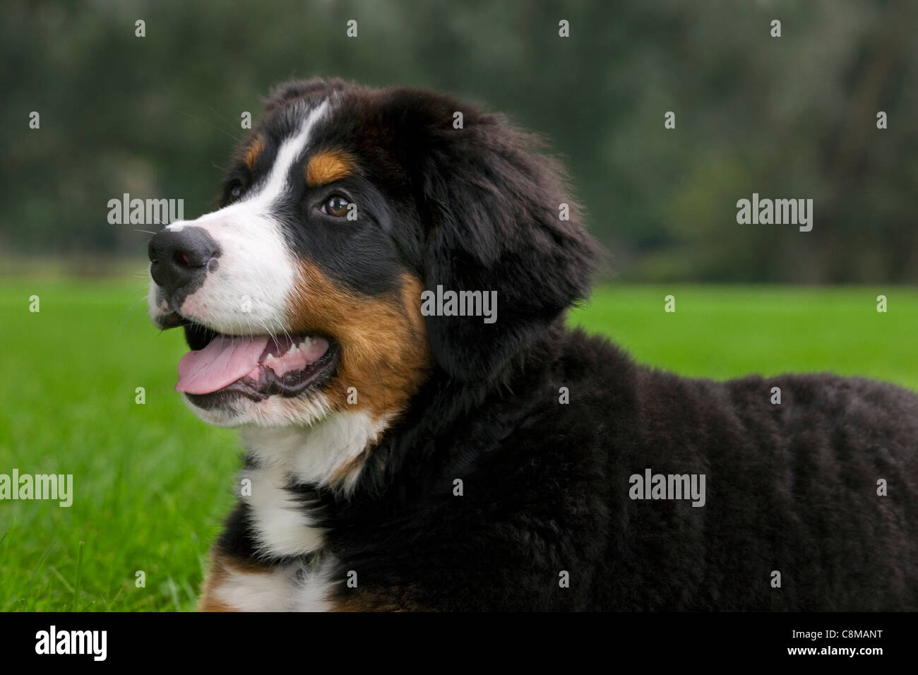 Bernese Mountain Dog / Berner Sennenhund (Canis lupus familiaris) close up in garden - Stock Image