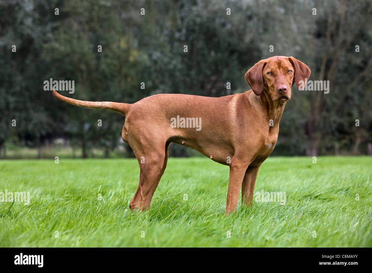 Hungarian Vizsla hunting dog with golden rust coat (Canis lupus familiaris) in garden, Belgium - Stock Image