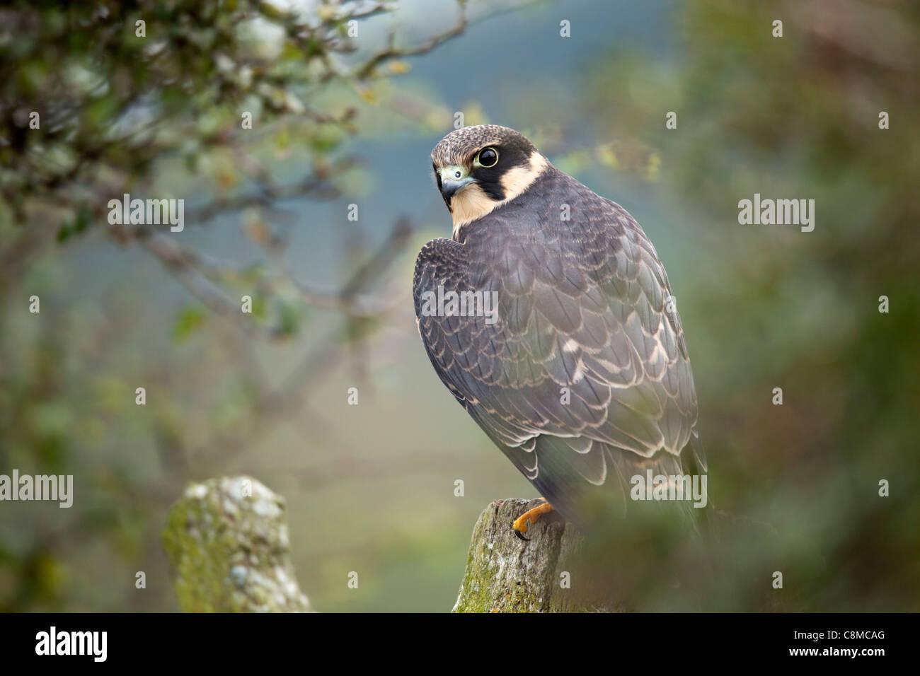 Hobby; Falco subbuteo; juvenile; UK - Stock Image