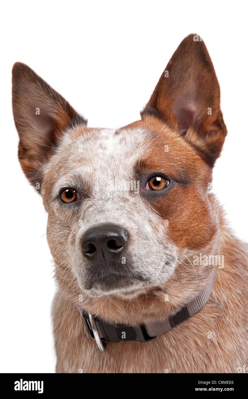 Australian Cattle Dog Puppies Tucson
