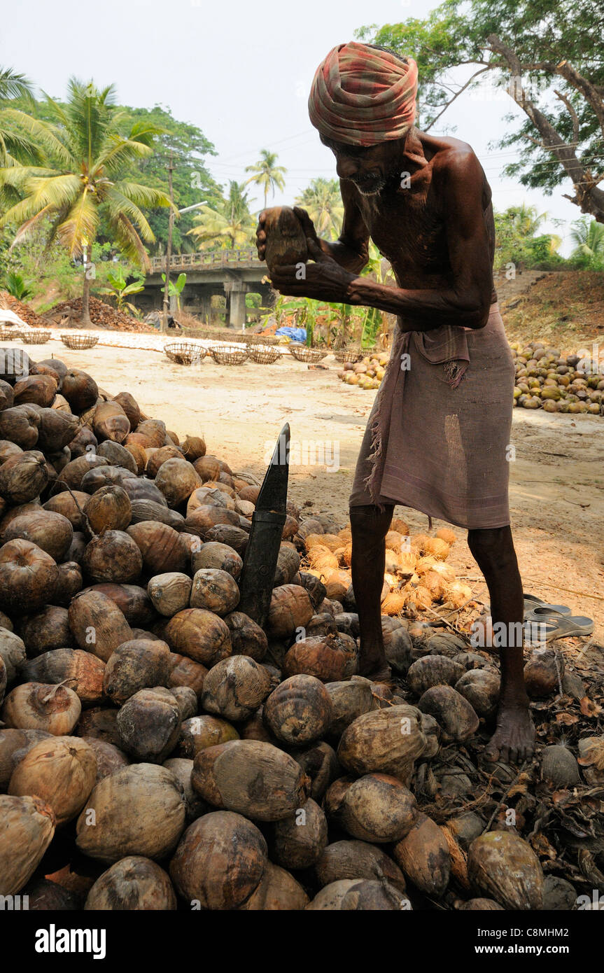 Indian labourer splitting coconuts to remove husks in Kerala, southern India. - Stock Image