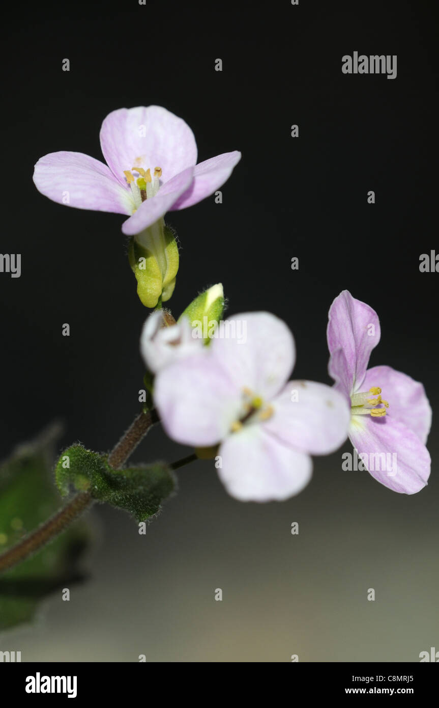 Small white scented flowers stock photos small white scented arabis androsacea rock cress closeup plant portraits white petals delicate fragrant scented flowers small miniature mightylinksfo