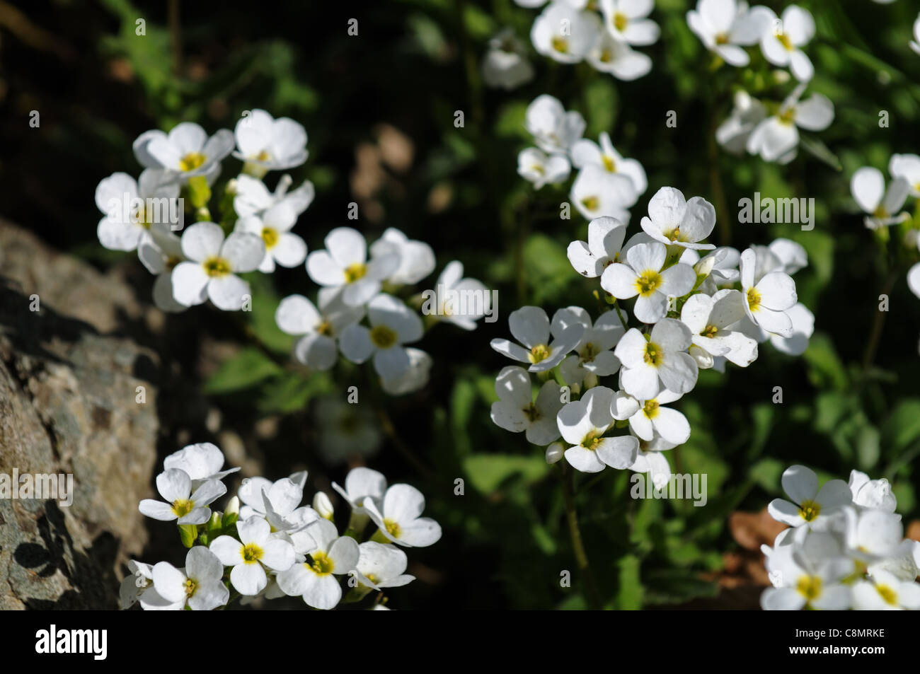 Arabis sicula perennial herbaceous plant white flowers blooms stock arabis sicula perennial herbaceous plant white flowers blooms blossoms dainty small spring mightylinksfo