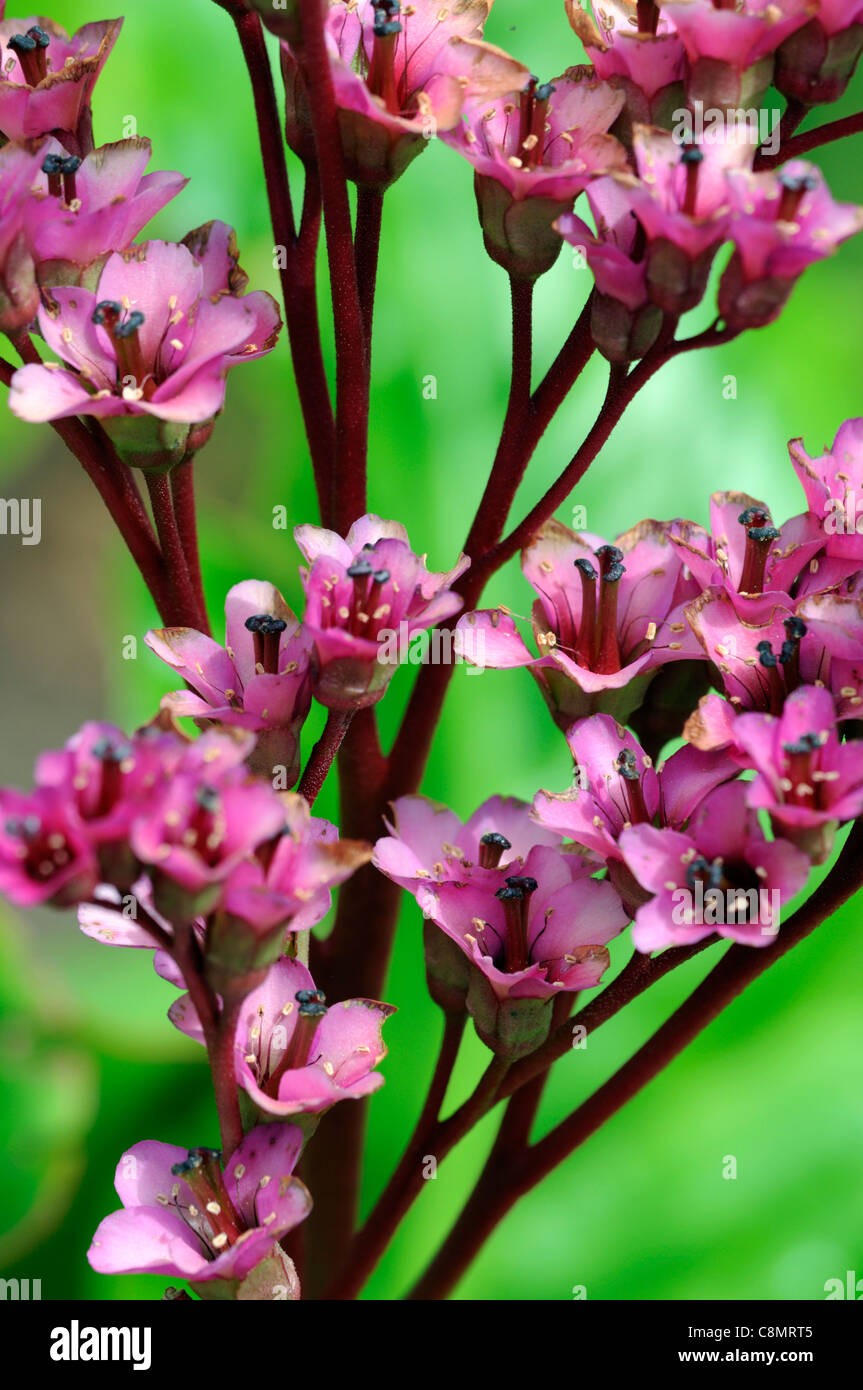 Early spring flowers stock photos early spring flowers stock bergenia ballawley early spring flowers flowering blooms perennials leaf leaves foliage green bright pink march mightylinksfo