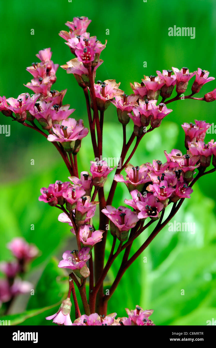 Bergenia Ballawley Early Spring Flowers Flowering Blooms Perennials