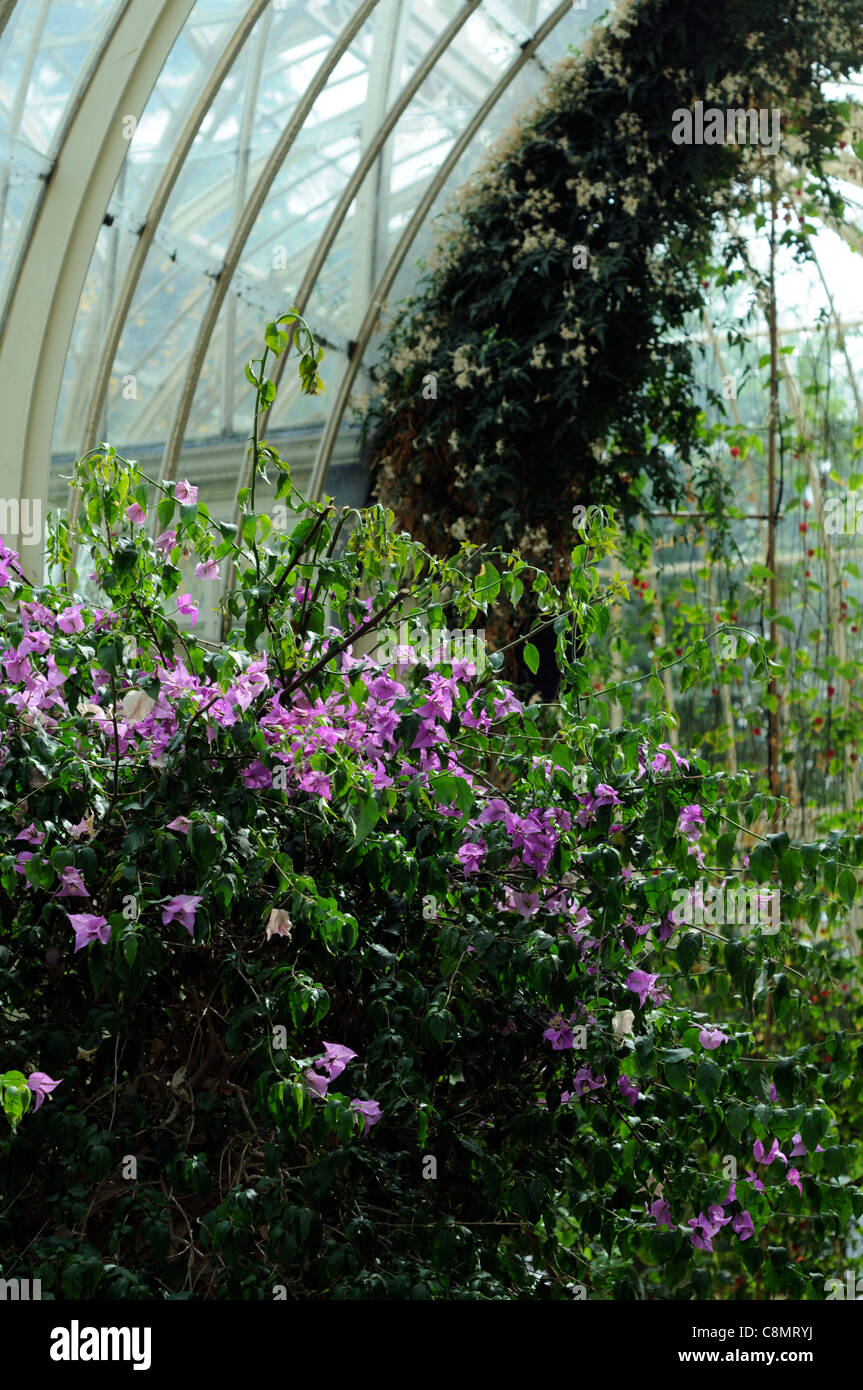 bougainvillea glabra conservatory plant portraits flowers flowering blooms petals evergreen woody vine white june - Stock Image