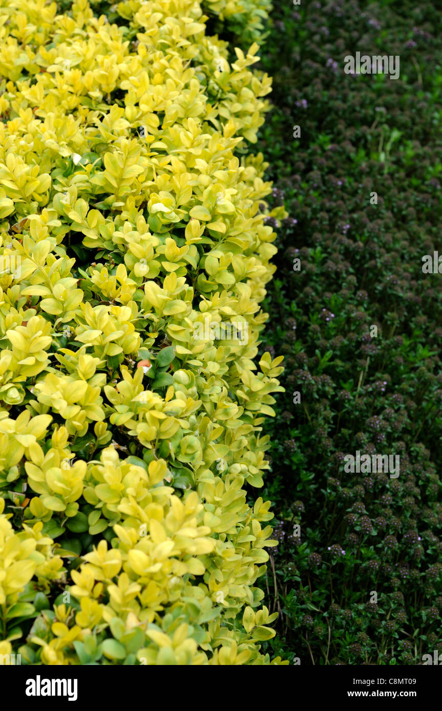 low clipped buxus box hedge closeup selective focus evergreens surfaces edging edges perfect - Stock Image