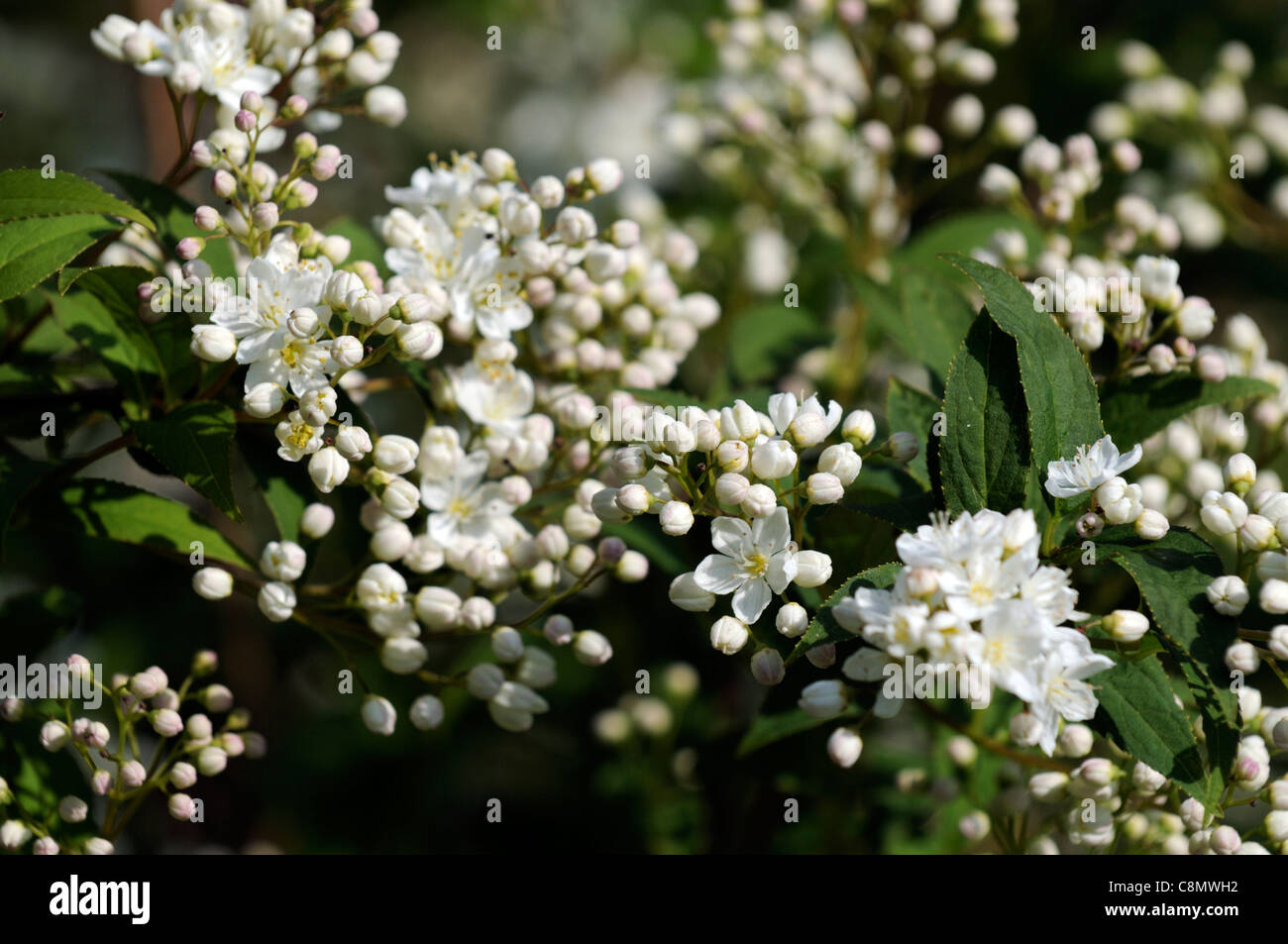 Deutzia x lemoinei flowers bloom blossom hardy perennial deciduous deutzia x lemoinei flowers bloom blossom hardy perennial deciduous shrub white flowers spring mightylinksfo
