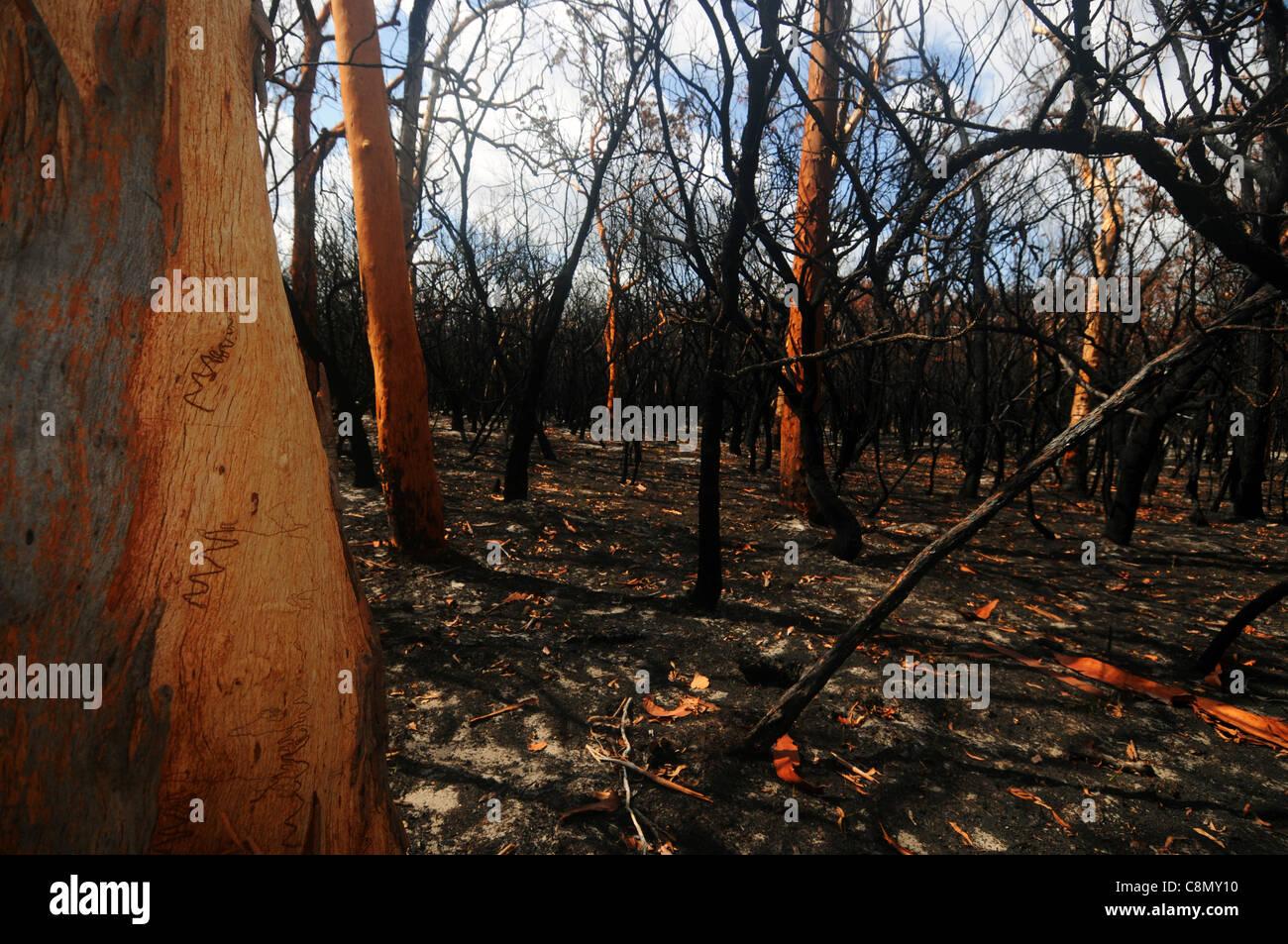 Forest burnt by bushfire, including scribbly gums (Eucalyptus racemosa), Fraser Island World Heritage Area, Australia - Stock Image