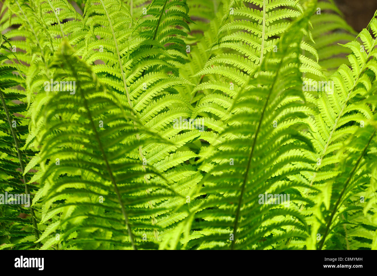 Matteuccia struthiopteris Shuttlecock ostrich fern lime green fronds backlit early spring  fronds dimorphic sterile - Stock Image