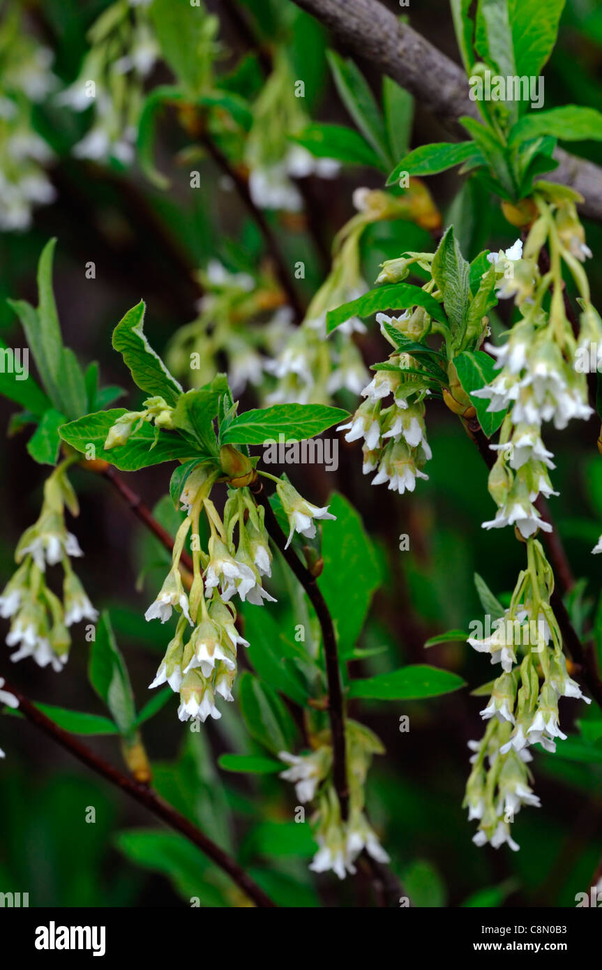 Oemleria Cerasiformis Flowers Early Spring Syn Osoberry Indian Plum