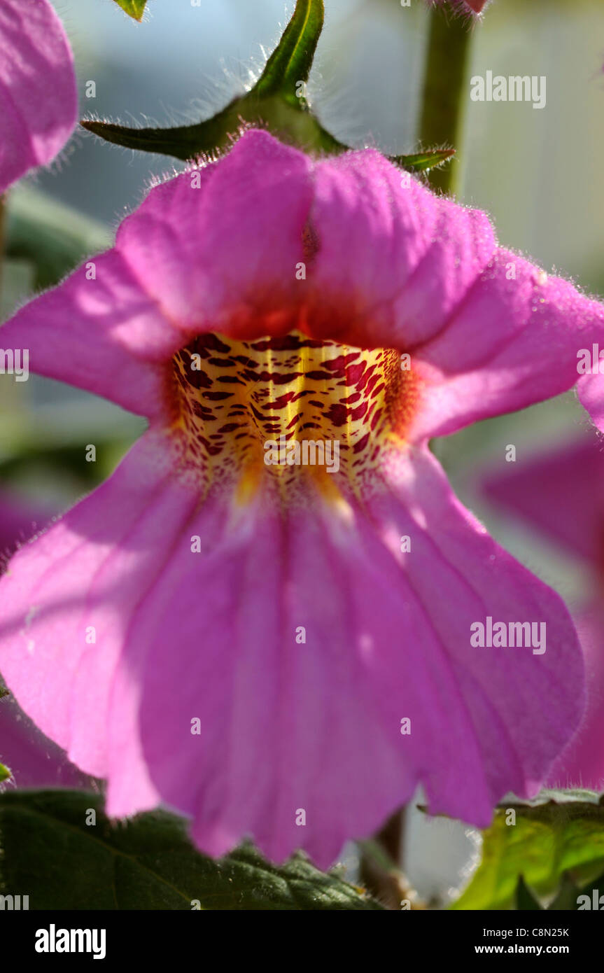 Bell shaped flowers stock photos bell shaped flowers stock images chinese foxglove rehmannia elata syn angulata perennial large bright pink red bell shaped flowers yellow mightylinksfo