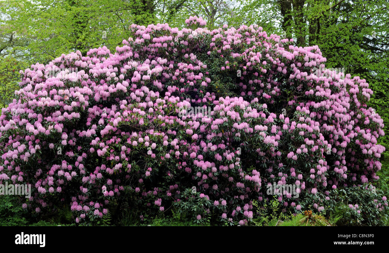 Large rhododendron tree blooms stock photos large rhododendron pink rhododendron flowers flower bloom blooms blossoms large tree specimen profuse profusion arboretum stock image mightylinksfo