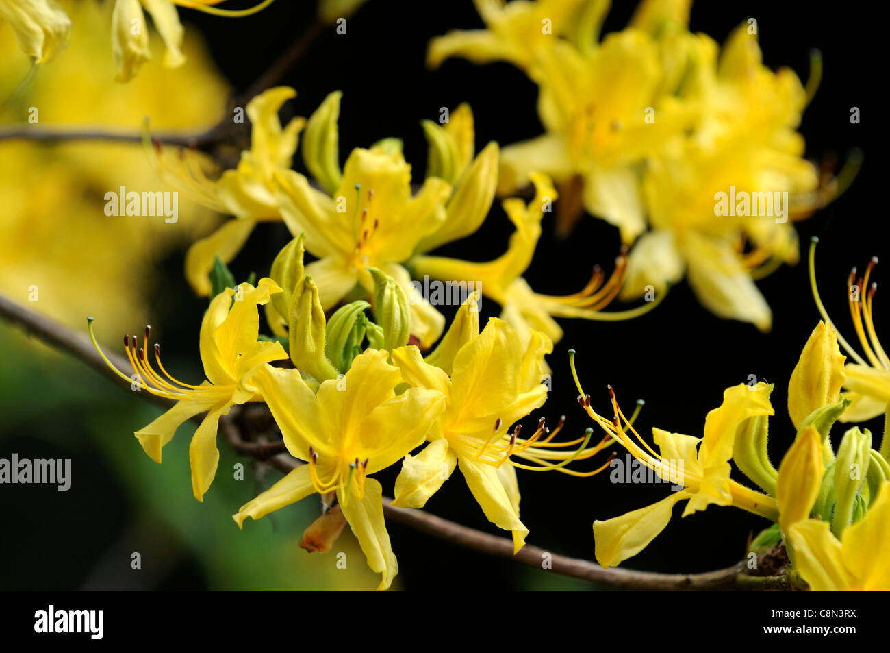 rhododendron luteum yellow flowers blooms blossoms closeup selective focus  shrubs plant portraits - Stock Image