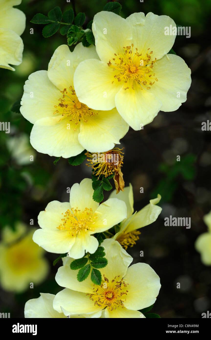 Rosa xanthina canary bird yellow flower shrub rose clusters flowers rosa xanthina canary bird yellow flower shrub rose clusters flowers fern like foliage arching thorny stems mightylinksfo