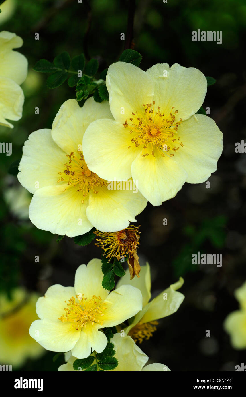 Rosa xanthina canary bird yellow flower shrub rose clusters flowers rosa xanthina canary bird yellow flower shrub rose clusters flowers fern like foliage arching thorny stems mightylinksfo