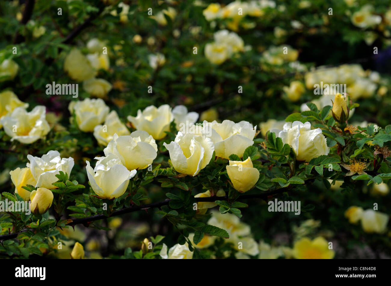 Rosa xanthina Canary Bird yellow flower shrub rose clusters flowers fern-like foliage arching thorny stems - Stock Image