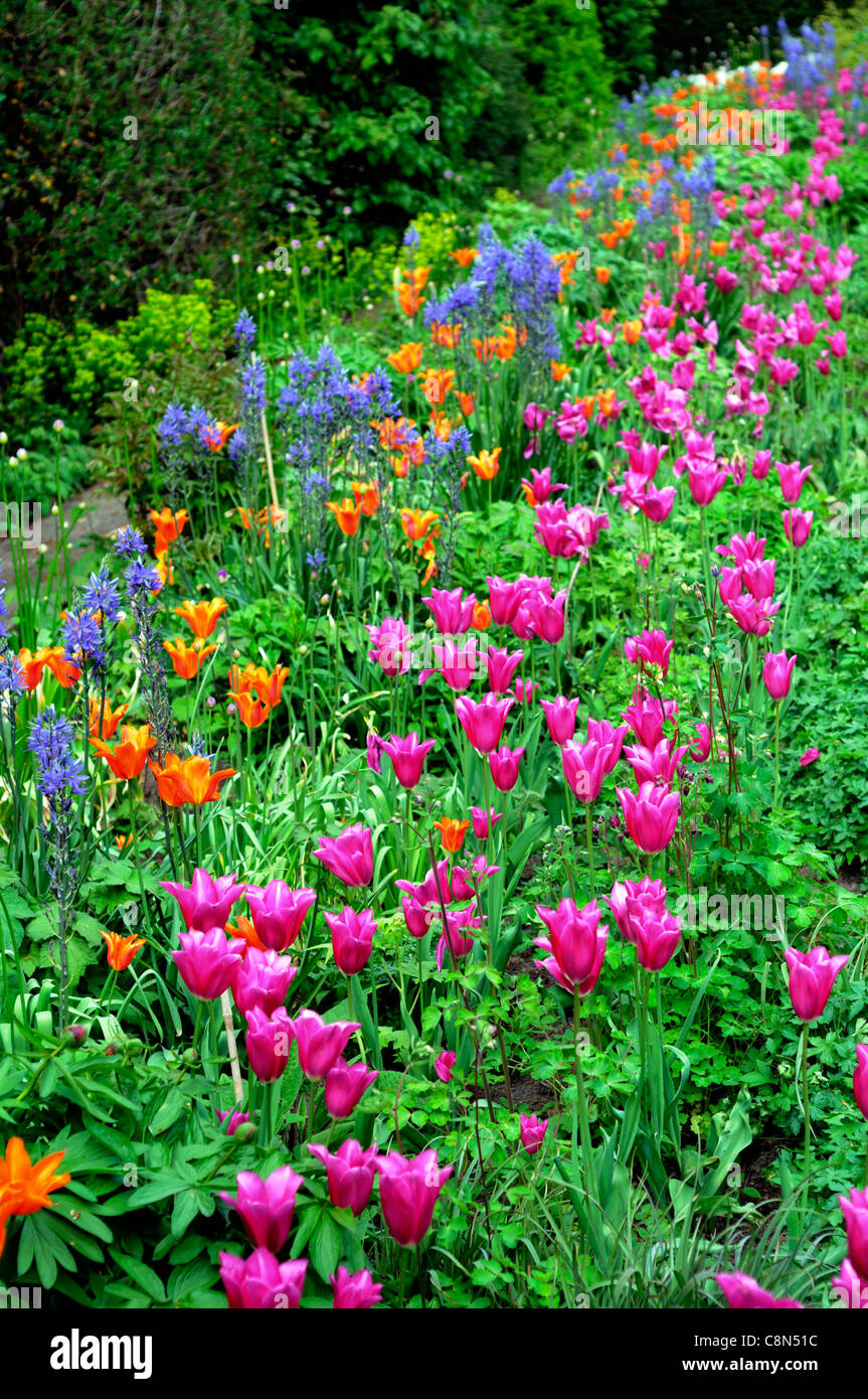 Spring border bed hot colours colors perennial flowering bulbs spring border bed hot colours colors perennial flowering bulbs tulips pink orange blue mixed flower bloom blossom mightylinksfo