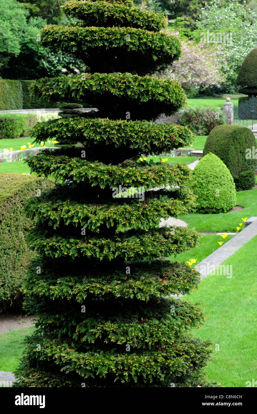 taxus yew tree spiral circular shape shaped clip clipped topiary formal garden design gardening farmleigh phoenix - Stock Image