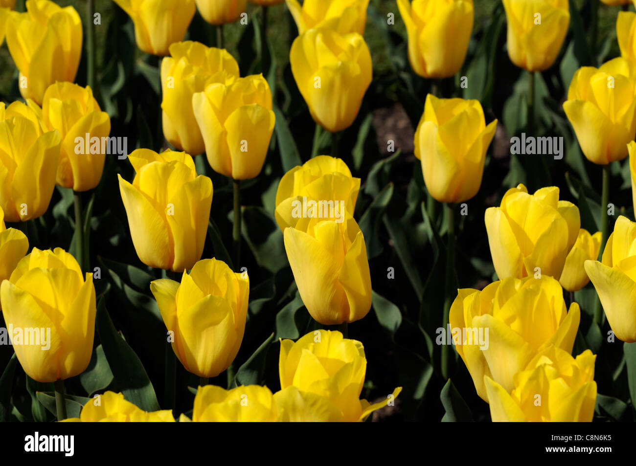 Tulipa Tulip yellow golden melody triumph group flowers spring flower bloom blossom - Stock Image