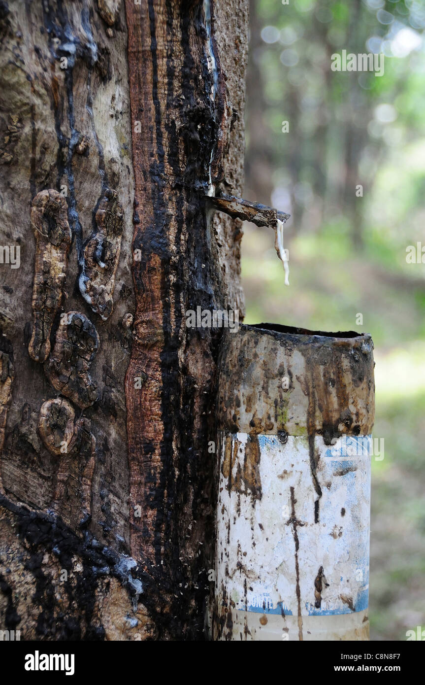 Collecting sap to make rubber showing sap dripping from a rubber tree into a drip pot in the foothills of Kerala, Stock Photo