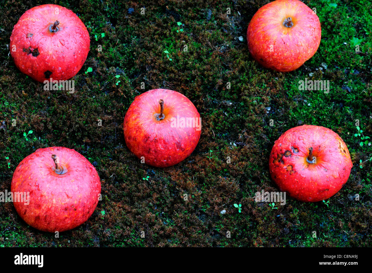 windfall apples on moss cover covered ground autumn fall fruit fruits harvest time period - Stock Image