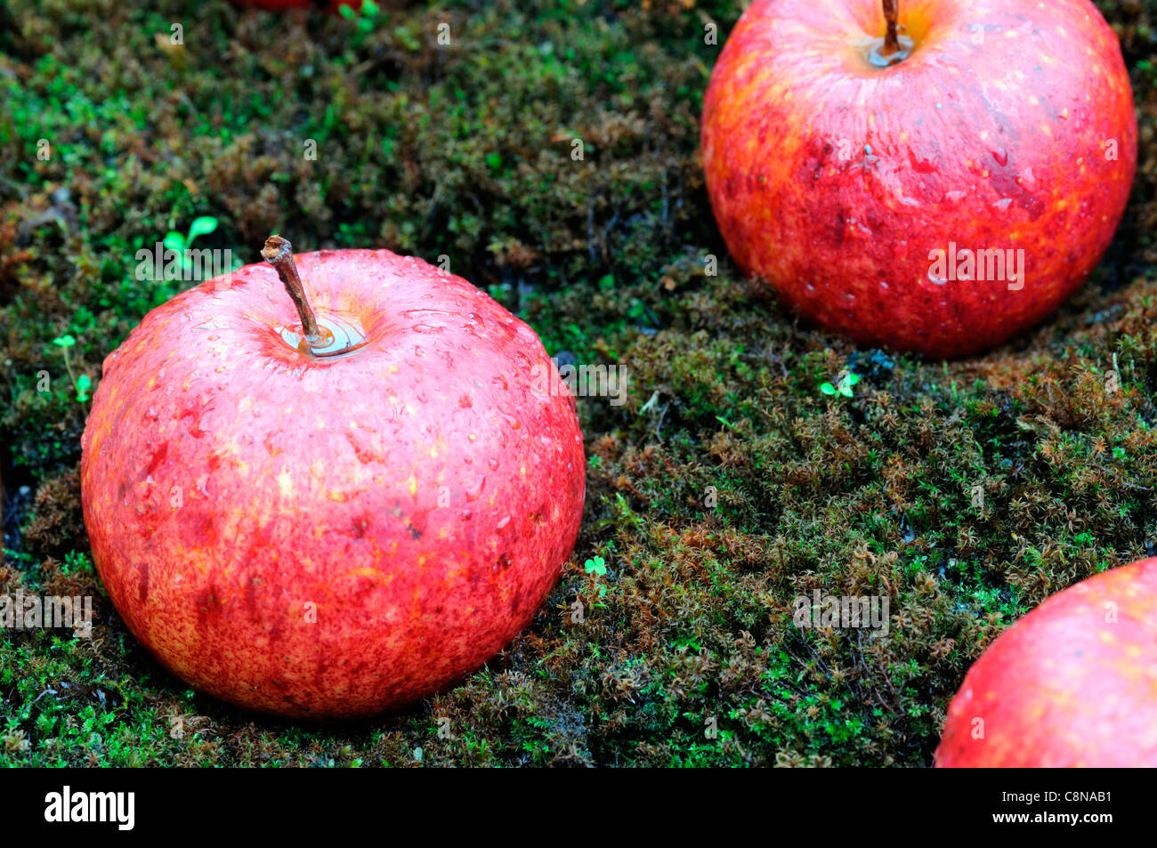 windfall apples moss covered ground autumn fall fruit fruits harvest time period - Stock Image