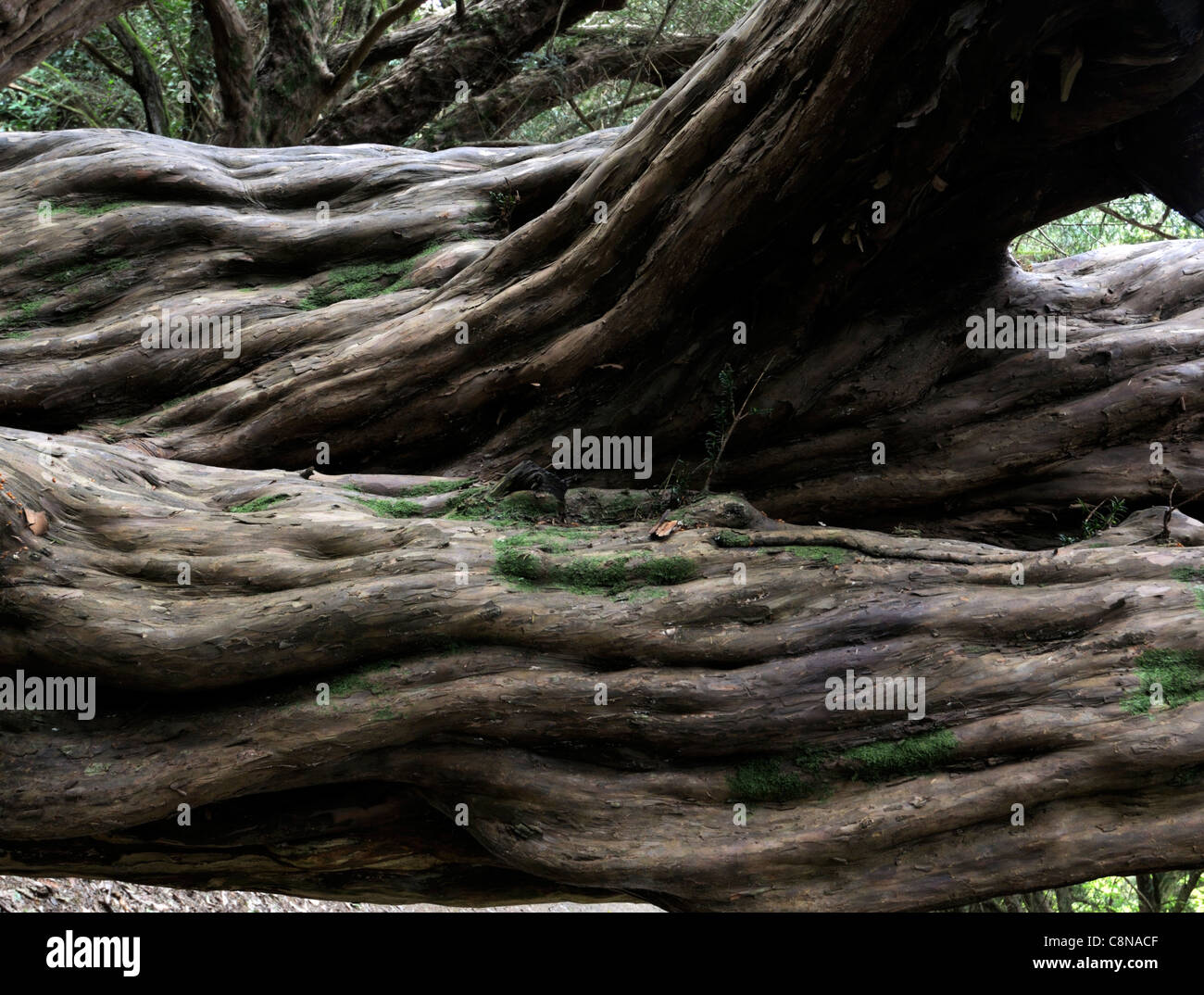 ancient taxus baccata yew tree old twisted warped bent trunk smooth bark evergreen branches trunk shady shade - Stock Image