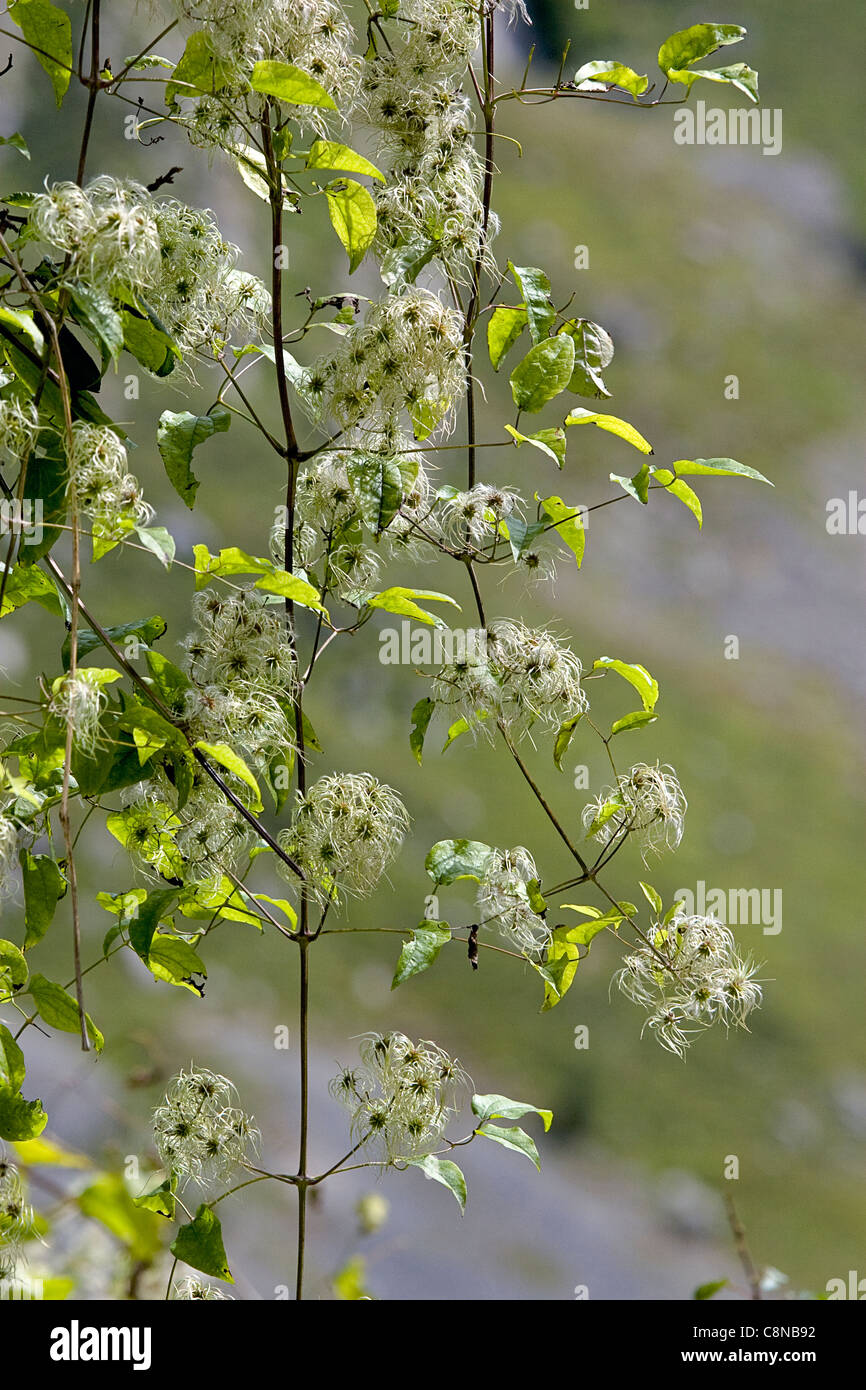 Spain, Asturias, Clematis vitalba (Old Man's Beard) Stock Photo
