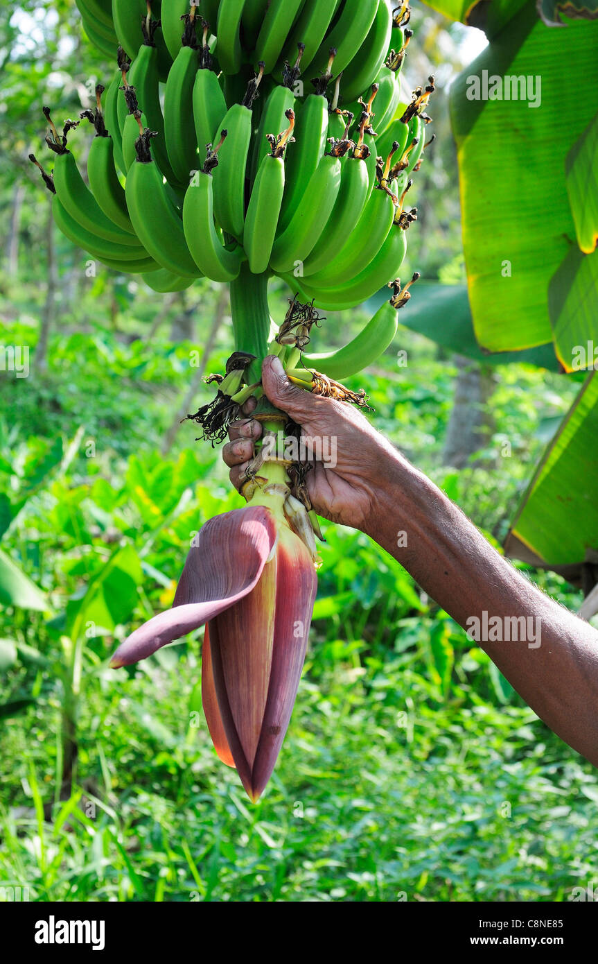 Gardener on Philipkutty's Farm in the backwaters, Kumarakom, Kerala,showing the Banana 'tree' with its fruit - Stock Image