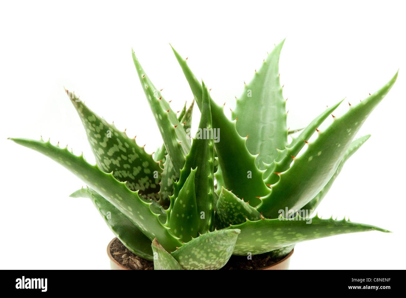Aloe vera var. chinensis on a white background - Stock Image