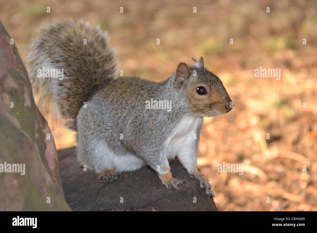 Grey Squirrel  in Autumn - Stock Image