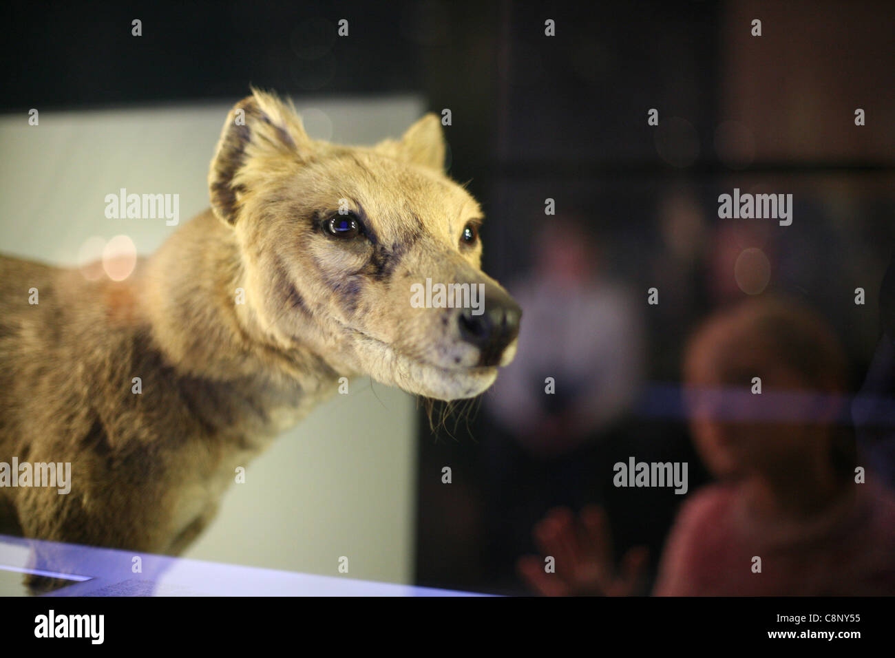 Stuffed Tasmanian Tiger Thylacinus Cynocephalus At The Humboldt