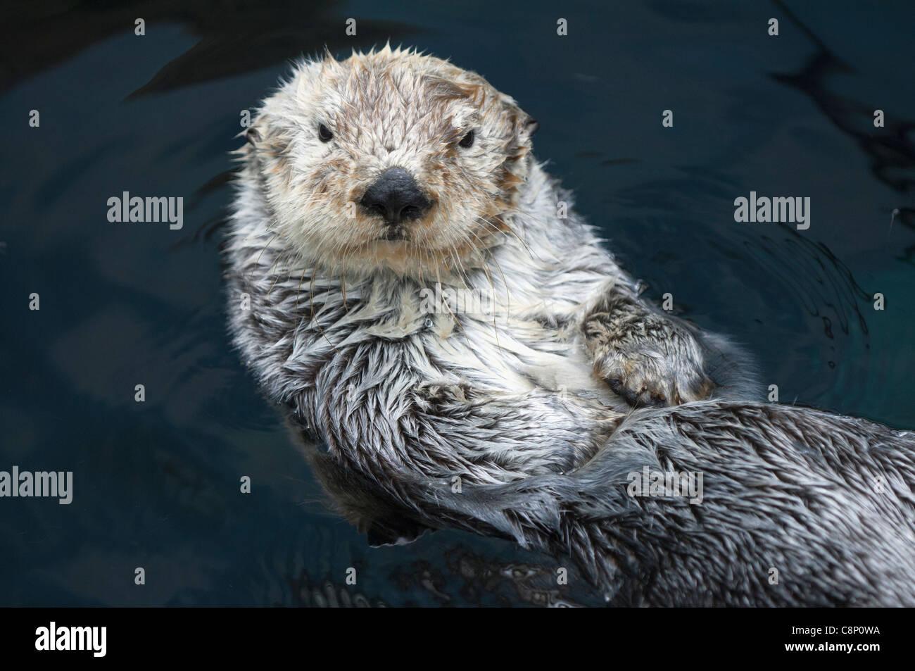 Sea Otter (Enhydra lutris lutris) - Stock Image