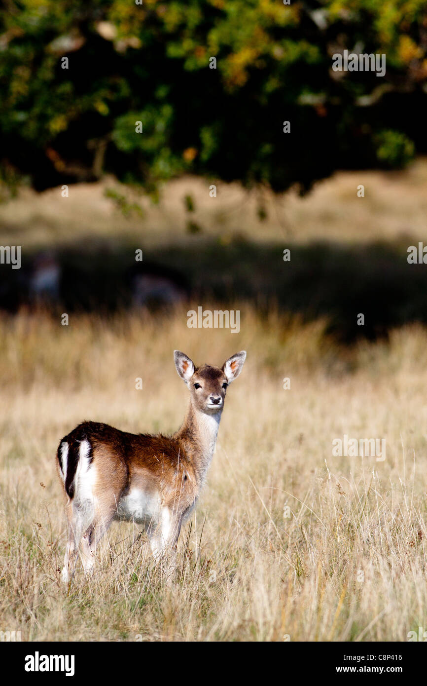 A young fallow deer feeding in the long grass - Stock Image