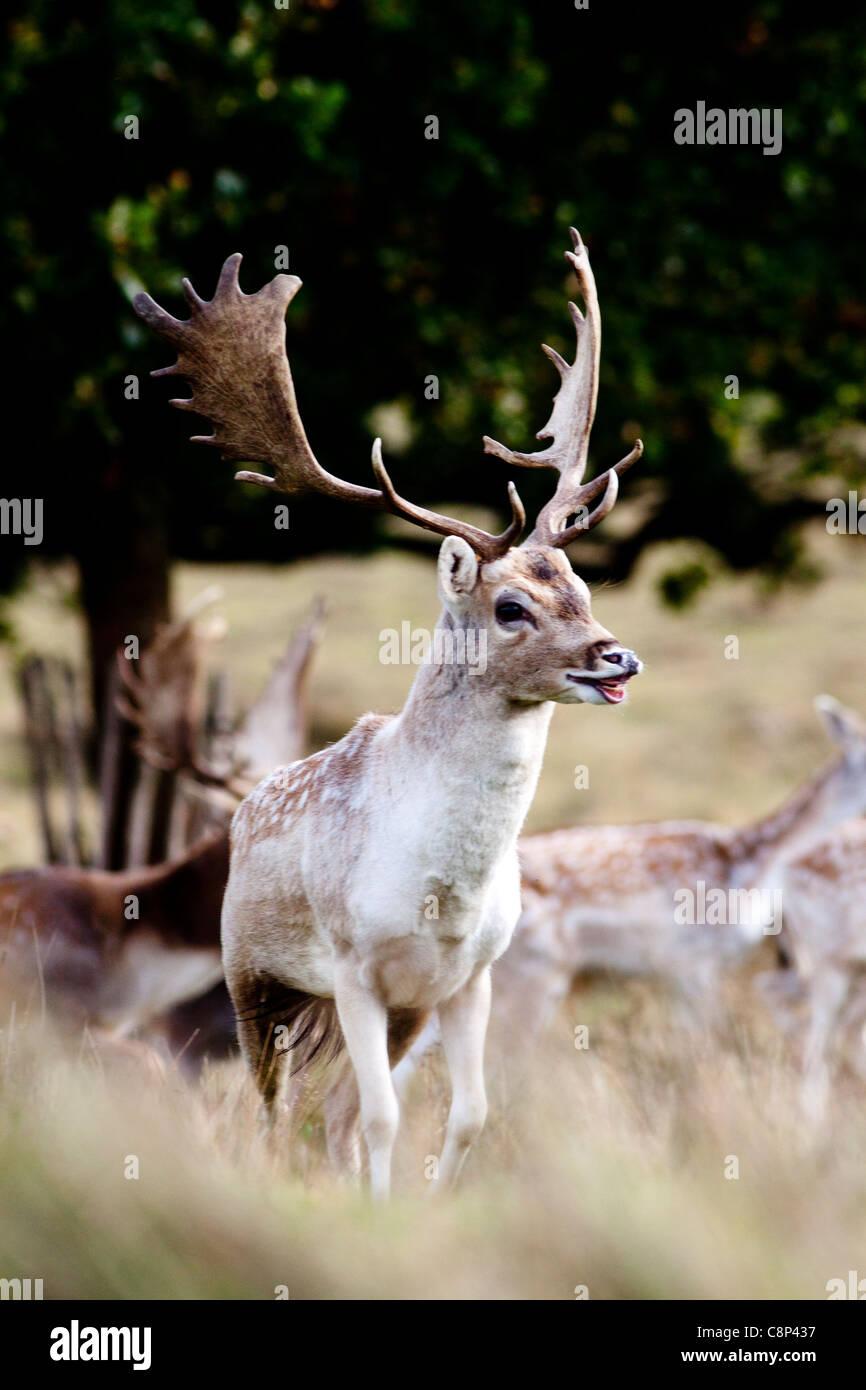 A Fallow Deer in Petworth Deer park - Stock Image