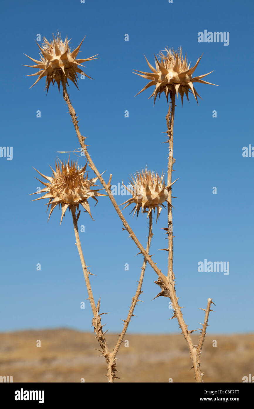 Dried thistles and a blue sky - Stock Image