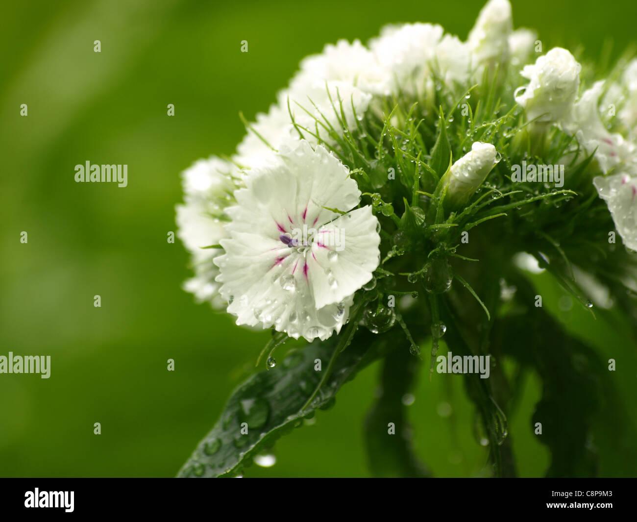 Sweet William / Dianthus barbatus / Bartnelke / Nelke with raindrops - Stock Image